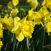 Bulbs - Daffodil 'Dutch Master'