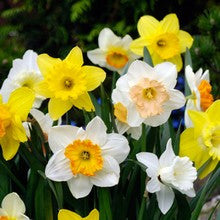 Bulbs - Daffodil 'Large Cup Mix' OG
