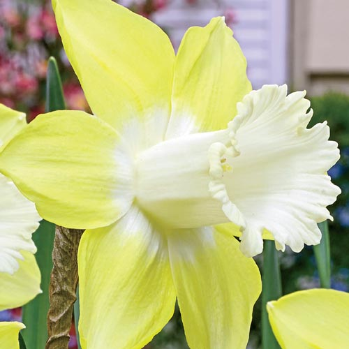 Teal Daffodil at Sage Garden