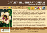Daylily 'Blueberry Cream' (Live Plant)