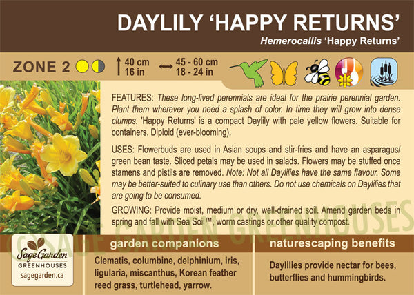 Daylily 'Happy Returns' (Live Plant)