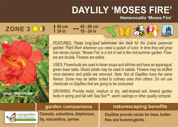 Daylily 'Moses Fire' (Live Plant)