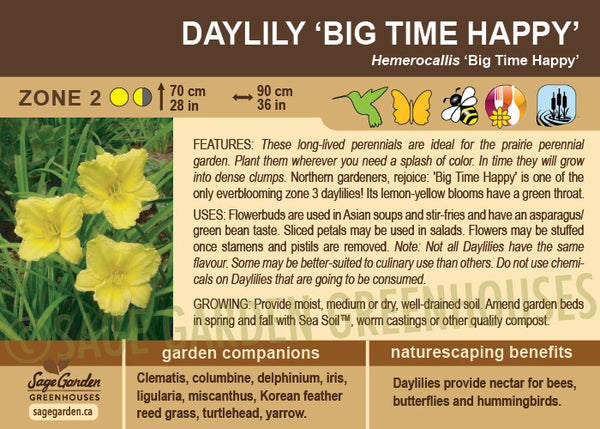 Daylily 'Big Time Happy' (Live Plant)
