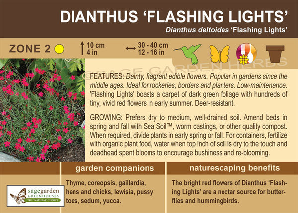 Dianthus 'Flashing Lights' (Live Plant)
