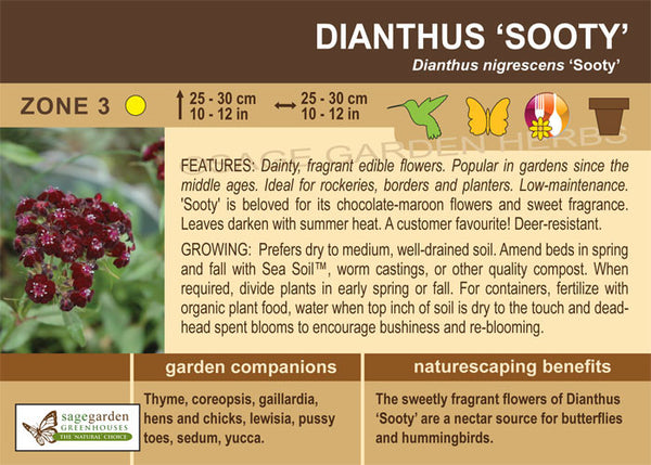 Dianthus 'Sooty' (Live Plant)