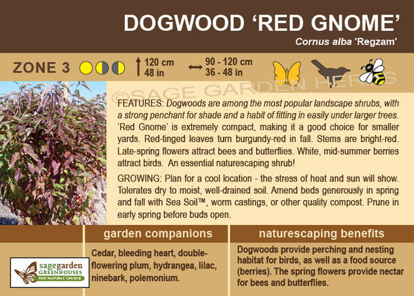 Dogwood 'Red Gnome' (Live Plant)
