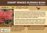 Dwarf Winged Burning Bush 'Compactus' (Live Plant)