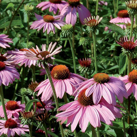 Echinacea Purpurea (Purple Coneflower) Seeds