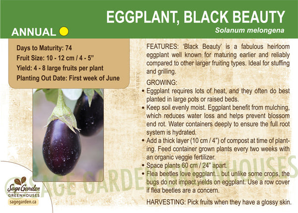 Eggplant, Black Beauty (Live Plant)