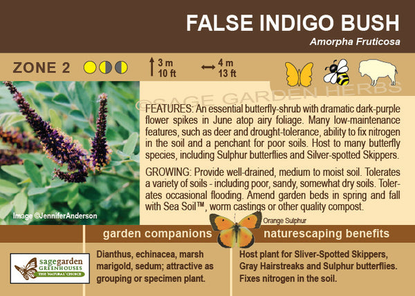 False Indigo Bush (Live Plant)