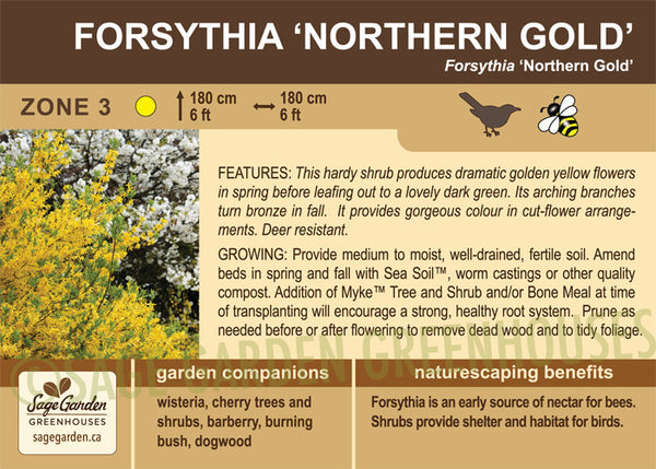 Forsythia 'Northern Gold' (Live Plant) - SALE