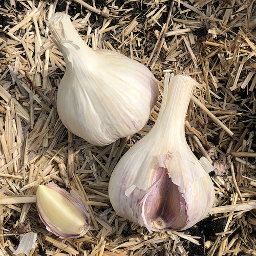French Pink organic seed garlic at Sage Garden