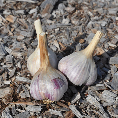 Bulbs - Garlic, Irkutsk OG