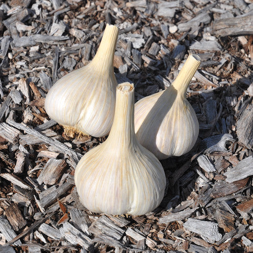 Bulbs - Garlic, Polish Hardneck OG