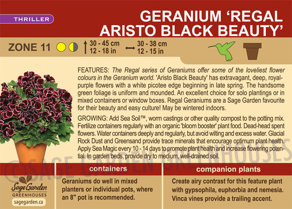 Geranium 'Regal Aristo Black Beauty' (Live Plant)
