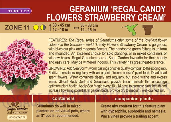 Geranium 'Regal Candy Flowers Strawberry Cream' (Live Plant)