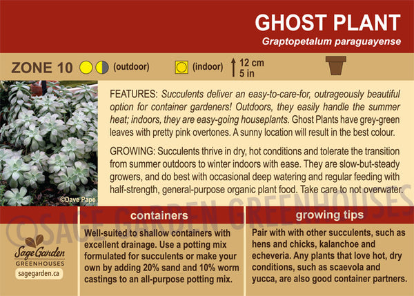 Ghost Plant (Live Plant)