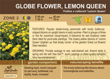 Globe Flower, Lemon Queen (Live Plant)
