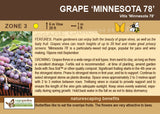 Grape 'Minnesota 78' (Live Plant)