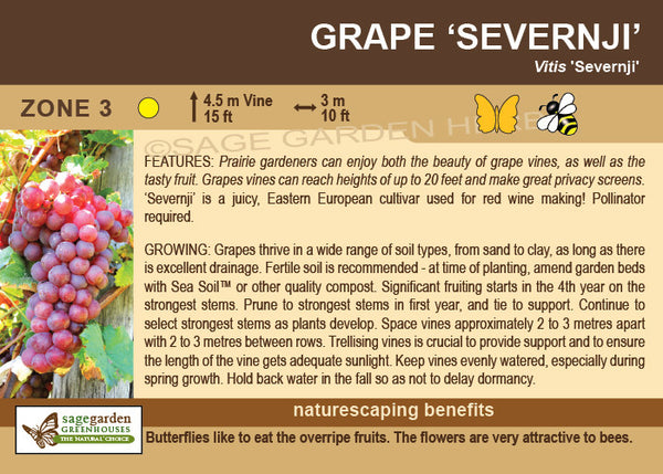 Grape 'Severnji' (Live Plant)