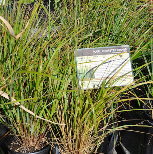 Karl Foerster Grass Collection of 3 (Live Plant) - Sale