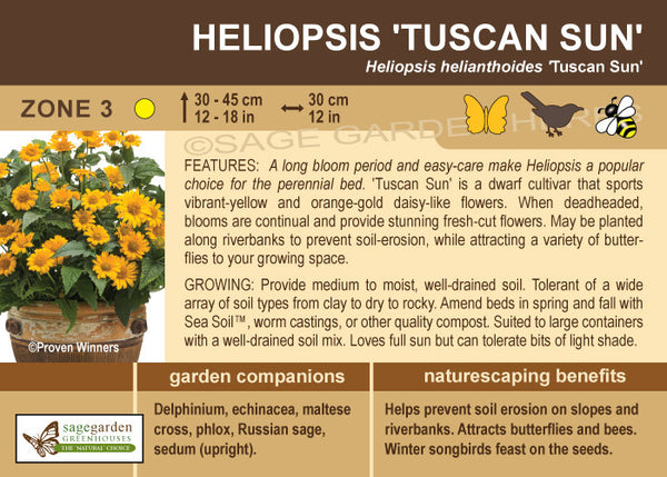 Heliopsis 'Tuscan Sun' (Live Plant)