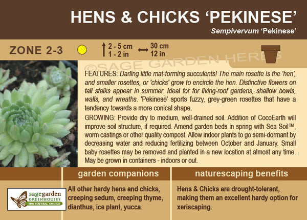 Hens and Chicks 'Pekinese' (Live Plant)