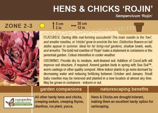 Hens and Chicks 'Rojin' (Live Plant)