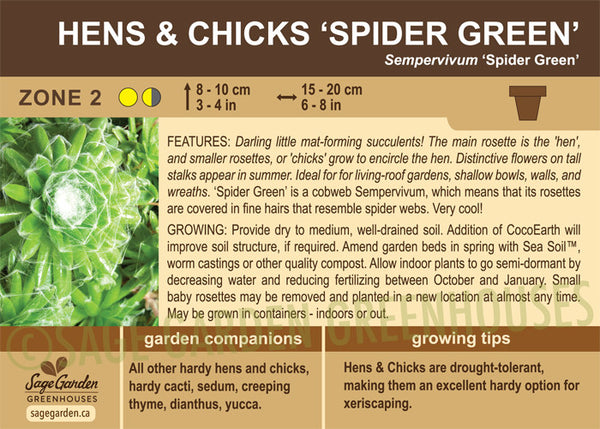Hens and Chicks 'Spider Green' (Live Plant)