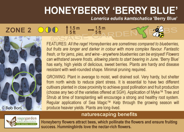 Honeyberry 'Berry Blue' (Live Plant)