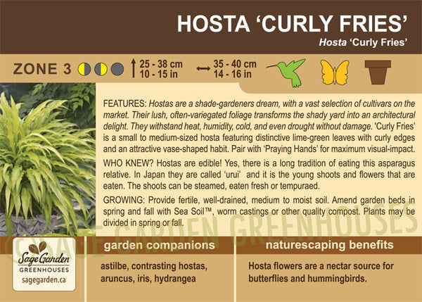 Hosta 'Curly Fries' (Live Plant)