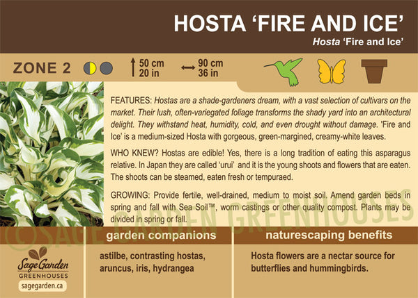 Hosta 'Fire and Ice' (Live Plant)