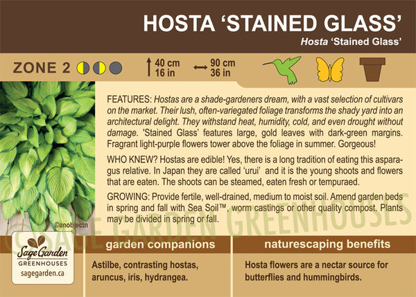 Hosta 'Stained Glass' (Live Plant)