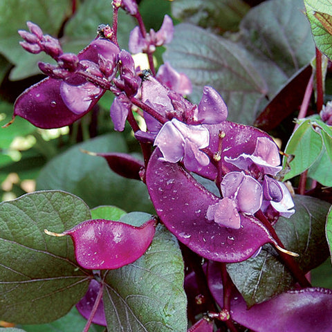 Seeds - Hyacinth Bean, Ruby Moon