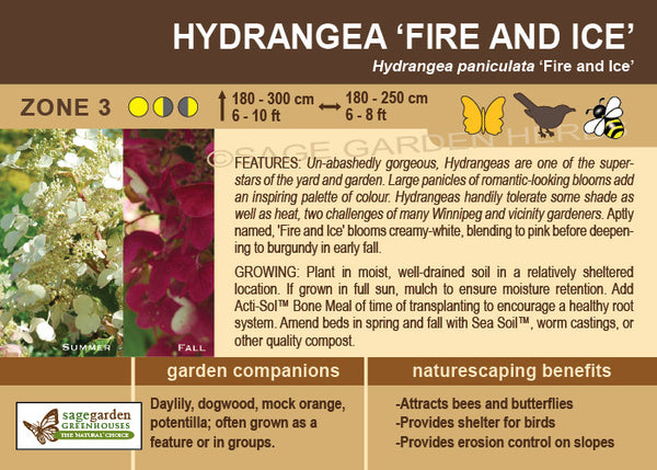 Hydrangea 'Fire and Ice' (Live Plant)