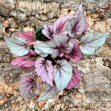 Rex Begonia Shadow King Cherry - Live Plant