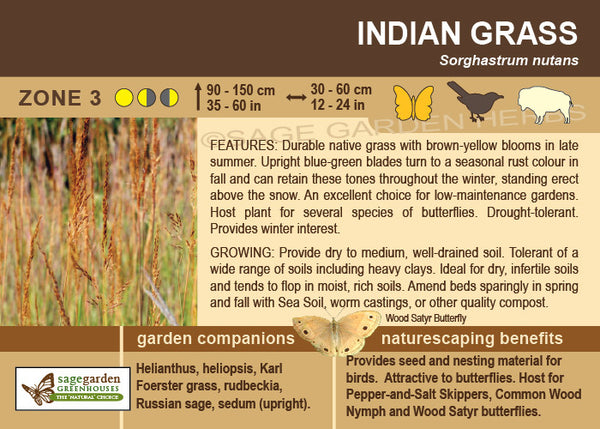 Indian Grass (Live Plant)