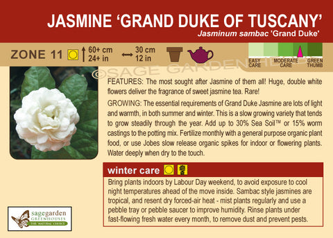 Jasmine 'Grand Duke of Tuscany' (Live Plant)