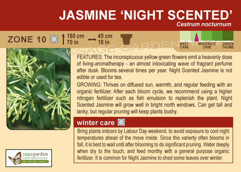 Jasmine 'Night Scented' (Live Plant)