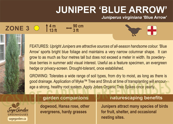 Juniper 'Blue Arrow' (Live Plant)