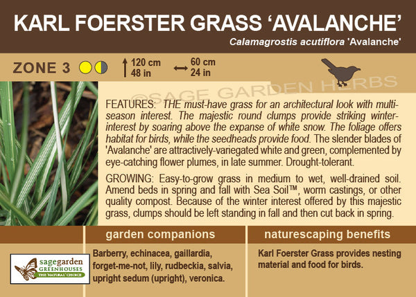Karl Foerster Grass, Avalanche (Live Plant)