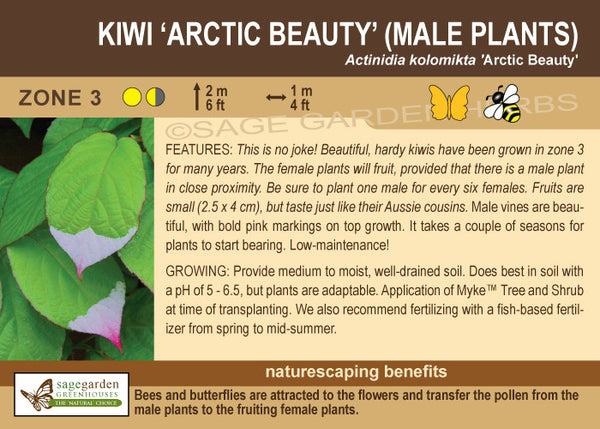 Kiwi 'Arctic Beauty' (Male Plants) (Live Plant)