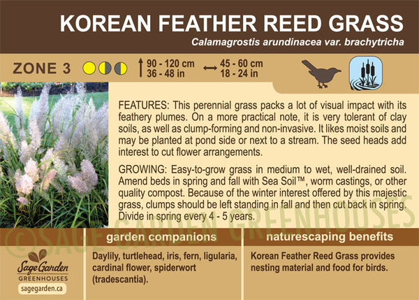 Korean Feather Reed Grass (Live Plant)