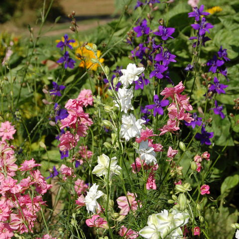 Organic Larkspur Galillee Mix