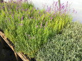 Lavender 50 cell plug trays in Geothermal greenhouse at Sage Garden