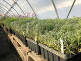 Lavender plug trays in Geothermal greenhouse at Sage Garden