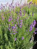 Lavender plug trays blooming at Sage Garden