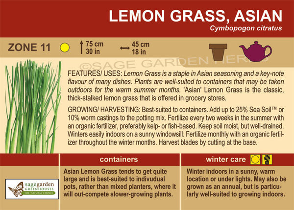 Lemon Grass 'Asian' (Live Plant)