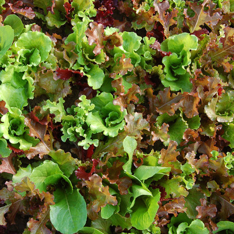 Seeds - Salad Mix, Yankee Lettuce OG