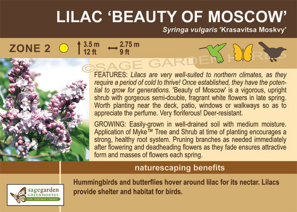 Lilac 'Beauty of Moscow' (Live Plant)